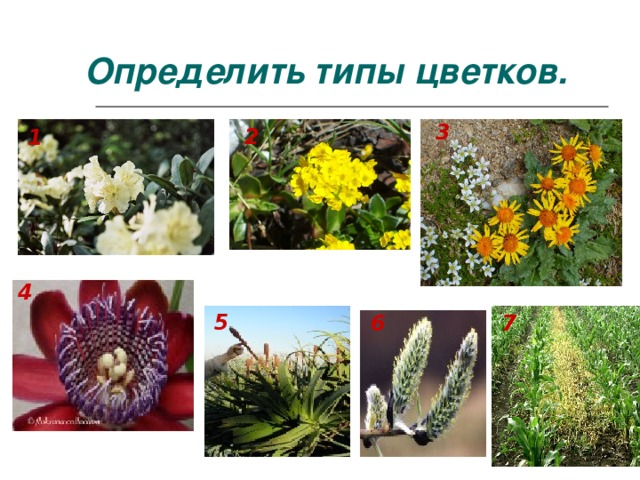 Определить типы цветков. 3 2 1 4 5 6 7