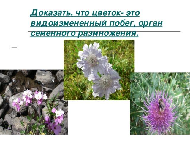 Доказать, что цветок- это видоизмененный побег, орган семенного размножения.