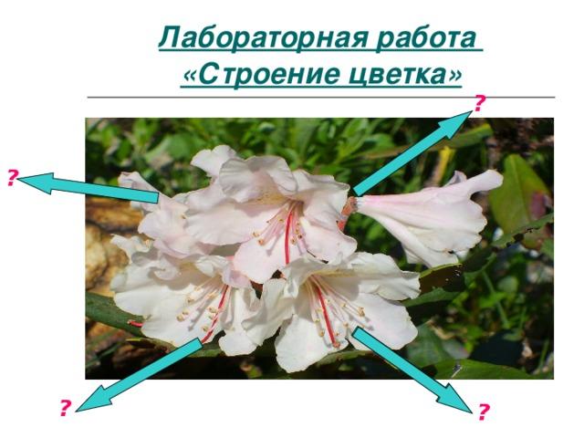 Лабораторная работа «Строение цветка» ? ? ? ?