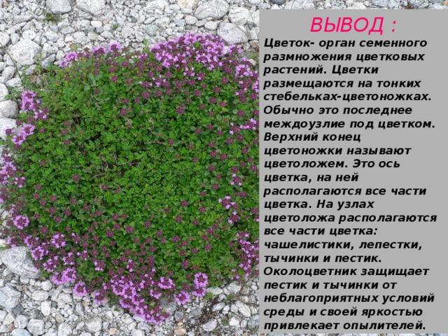 ВЫВОД : Цветок- орган семенного размножения цветковых растений. Цветки размещаются на тонких стебельках-цветоножках. Обычно это последнее междоузлие под цветком. Верхний конец цветоножки называют цветоложем. Это ось цветка, на ней располагаются все части цветка. На узлах цветоложа располагаются все части цветка: чашелистики, лепестки, тычинки и пестик. Околоцветник защищает пестик и тычинки от неблагоприятных условий среды и своей яркостью привлекает опылителей.