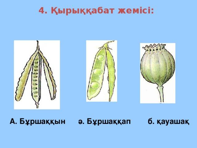 4. Қырыққабат жемісі: А. Бұршаққын ә. Бұршаққап б. қауашақ