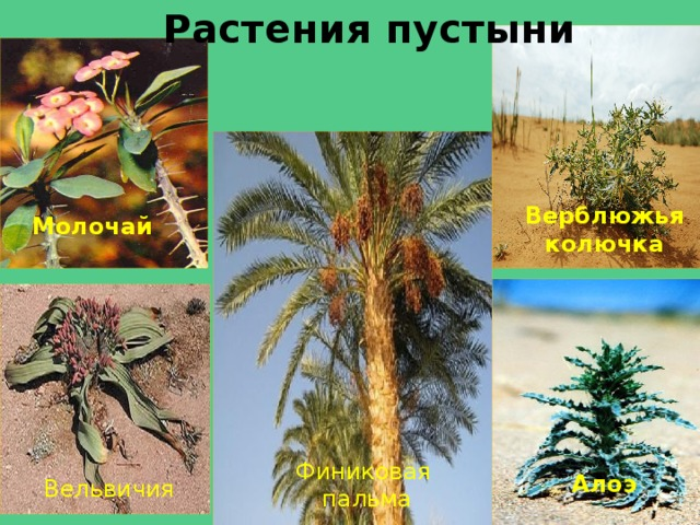 проекта растения пустыни фото с названиями звездным папой