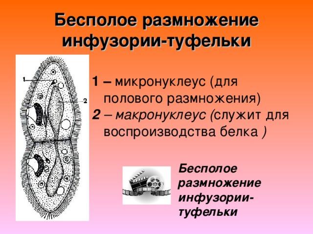 Бесполое размножение инфузории-туфельки 1 – 2 – макронуклеус ( )  Бесполое размножение инфузории-туфельки