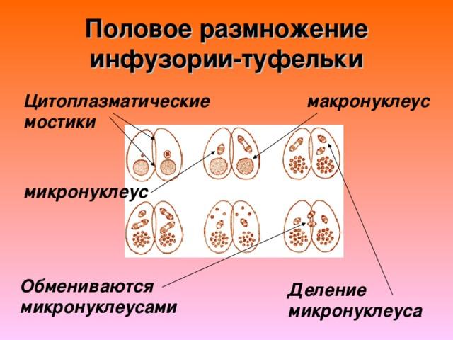 Половое размножение инфузории-туфельки макронуклеус Цитоплазматические мостики микронуклеус Обмениваются микронуклеусами Деление микронуклеуса