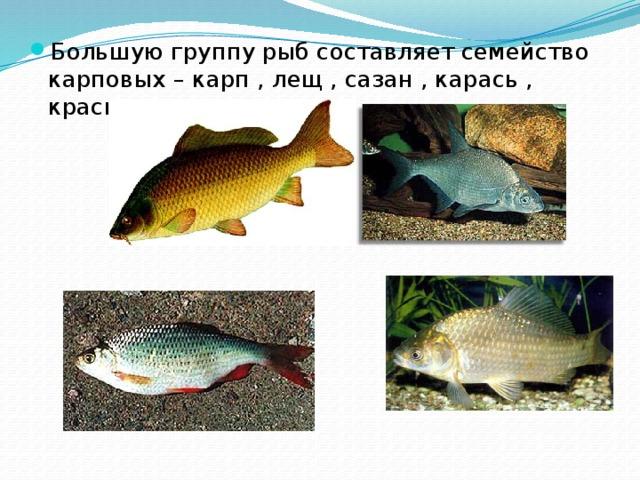 Большую группу рыб составляет семейство карповых – карп , лещ , сазан , карась , красноперка и др.