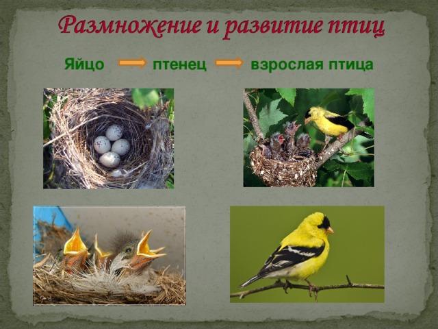 Яйцо птенец взрослая птица