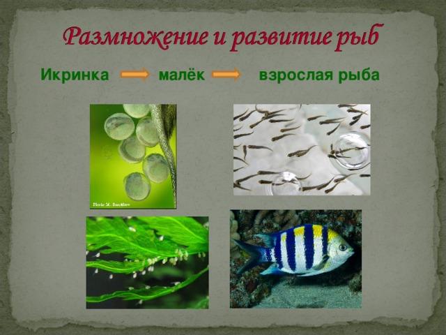 Икринка малёк взрослая рыба