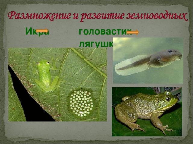 Икра головастик лягушка