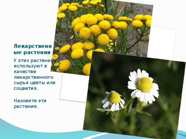 Лекарственные растения У этих растений используют в качестве лекарственного сырья цветы или соцветия. Назовите эти растения.
