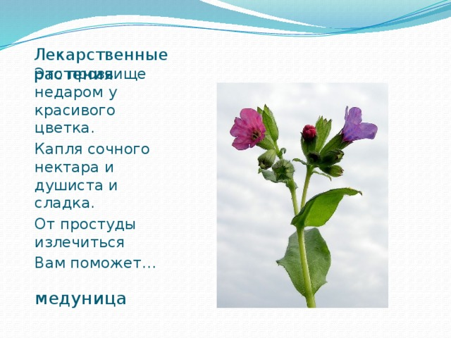 Лекарственные растения Это прозвище недаром у красивого цветка. Капля сочного нектара и душиста и сладка. От простуды излечиться Вам поможет… медуница