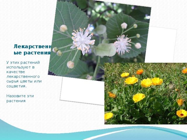 Лекарственные растения У этих растений используют в качестве лекарственного сырья цветы или соцветия. Назовите эти растения .