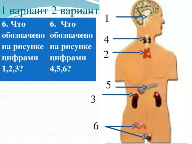 1 вариант 2 вариант 1 6. Что обозначено на рисунке цифрами 1,2,3?  6. Что обозначено на рисунке цифрами 4,5,6? 4 2 5 3 6