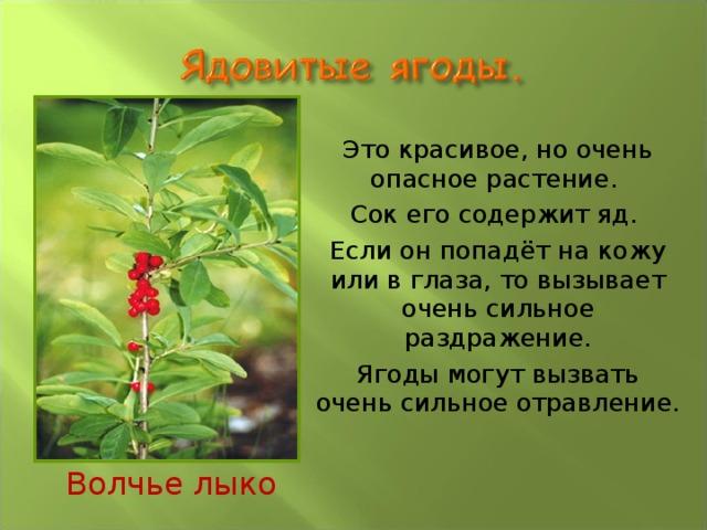 Это красивое, но очень опасное растение.  Сок его содержит яд.  Если он попадёт на кожу или в глаза, то вызывает очень сильное раздражение.  Ягоды могут вызвать очень сильное отравление. Волчье лыко