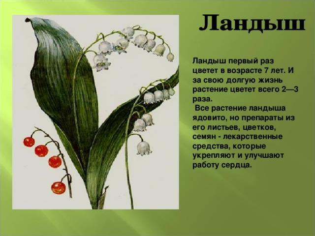 Ландыш первый раз цветет в возрасте 7 лет. И за свою долгую жизнь растение цветет всего 2—3 раза.  Все растение ландыша ядовито, но препараты из его листьев, цветков, семян - лекарственные средства, которые укрепляют и улучшают работу сердца.