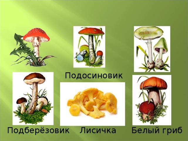 Подосиновик Лисичка Подберёзовик Белый гриб