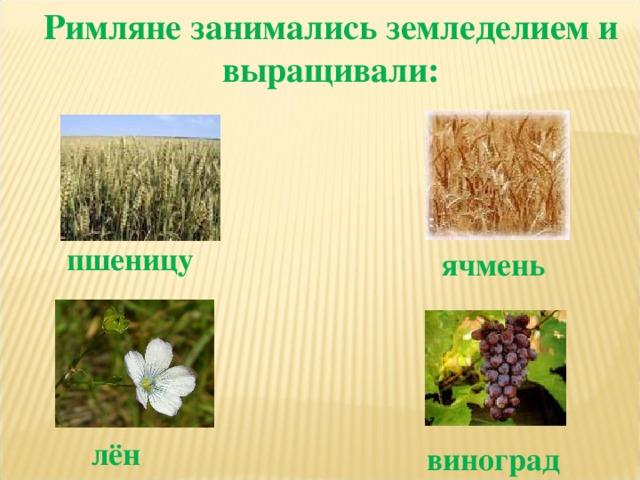 Римляне занимались земледелием и выращивали: пшеницу ячмень лён виноград