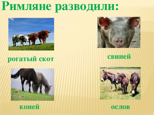 Римляне разводили:  свиней рогатый скот коней ослов