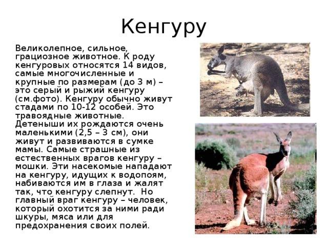 Кенгуру  Великолепное, сильное, грациозное животное. К роду кенгуровых относятся 14 видов, самые многочисленные и крупные по размерам (до 3 м) – это серый и рыжий кенгуру (см.фото). Кенгуру обычно живут стадами по 10-12 особей. Это травоядные животные. Детеныши их рождаются очень маленькими (2,5 – 3 см), они живут и развиваются в сумке мамы. Самые страшные из естественных врагов кенгуру – мошки. Эти насекомые нападают на кенгуру, идущих к водопоям, набиваются им в глаза и жалят так, что кенгуру слепнут. Но главный враг кенгуру – человек, который охотится за ними ради шкуры, мяса или для предохранения своих полей.