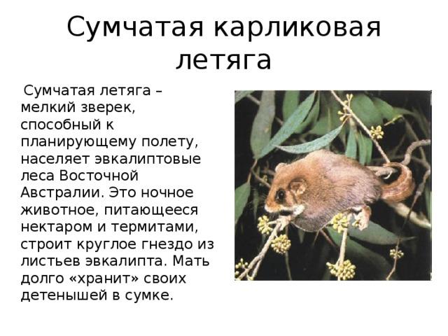 Сумчатая карликовая летяга  Сумчатая летяга – мелкий зверек, способный к планирующему полету, населяет эвкалиптовые леса Восточной Австралии. Это ночное животное, питающееся нектаром и термитами, строит круглое гнездо из листьев эвкалипта. Мать долго «хранит» своих детенышей в сумке.