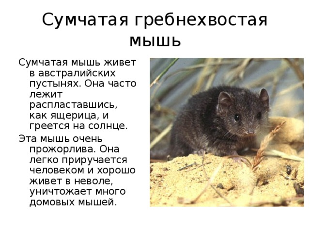 Сумчатая гребнехвостая мышь Сумчатая мышь живет в австралийских пустынях. Она часто лежит распластавшись, как ящерица, и греется на солнце. Эта мышь очень прожорлива. Она легко приручается человеком и хорошо живет в неволе, уничтожает много домовых мышей.