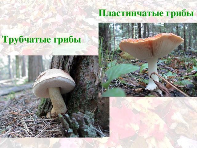 Пластинчатые грибы Трубчатые  грибы