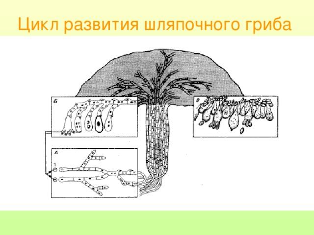 Цикл развития шляпочного гриба