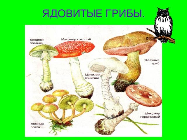 ядовитые грибы и ягоды фото и описание встречаются почве, коре