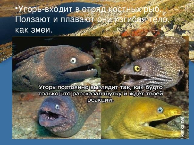 Угорь-входит в отряд костных рыб. Ползают и плавают они изгибая тело, как змеи.