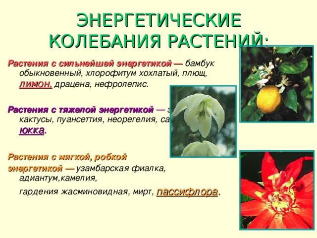 ЭНЕРГЕТИЧЕСКИЕ КОЛЕБАНИЯ РАСТЕНИЙ: Растения с сильнейшей энергетикой  —  бамбук обыкновенный, хлорофитум хохлатый, плющ,  лимон,  драцена, нефролепис.  Растения с тяжелой энергетикой —  эхмея, кактусы, пуансеттия, неорегелия, сансевьера, юкка .  Растения с мягкой, робкой энергетикой —  узамбарская фиалка, адиантум,камелия,   гардения жасминовидная, мирт,  пассифлора .