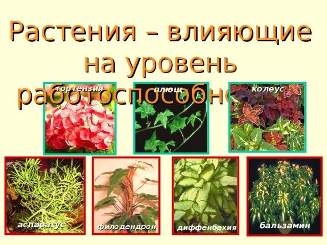 Растения – влияющие на уровень работоспособности:    гортензия колеус плющ  аспарагус  бальзамин  филодендрон  диффенбахия