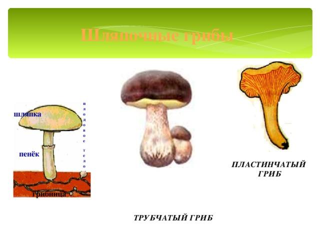 Шляпочные грибы п л о д о в о е  т е л о шляпка пенёк ПЛАСТИНЧАТЫЙ ГРИБ грибница ТРУБЧАТЫЙ ГРИБ