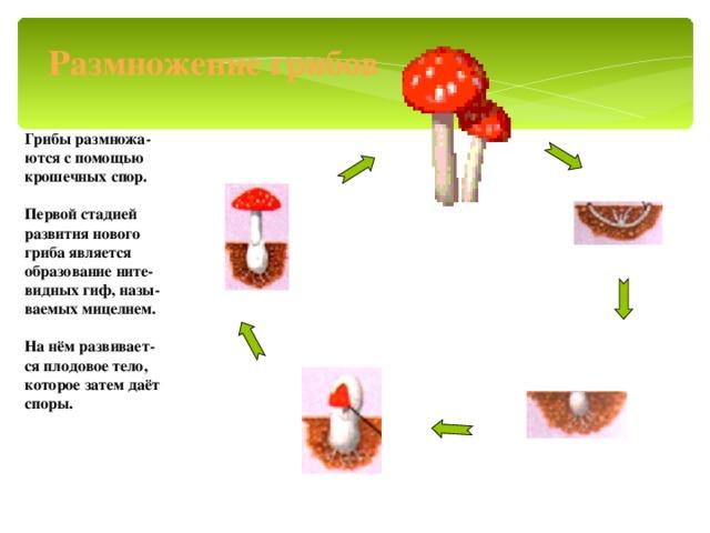 Размножение грибов Грибы размножа- ются с помощью крошечных спор.  Первой стадией развития нового гриба является образование ните- видных гиф, назы- ваемых мицелием.  На нём развивает- ся плодовое тело, которое затем даёт споры.