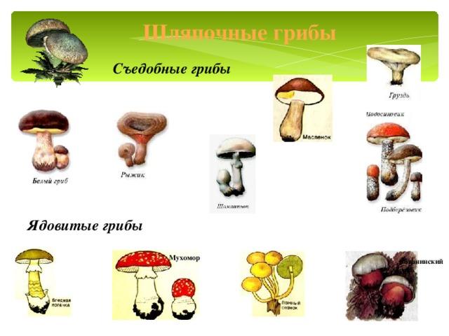 Шляпочные грибы Съедобные грибы Ядовитые грибы Мухомор Сатанинский гриб