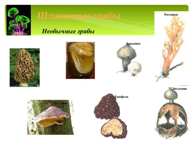 Шляпочные грибы Рогатики Необычные грибы Дождевик Сморчок Чайный гриб Звездовик Трюфель Трутовик