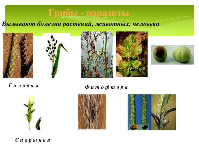Грибы - паразиты Вызывают болезни растений, животных, человека Г о л о в н я Ф и т о ф т о р а С п о р ы н ь я