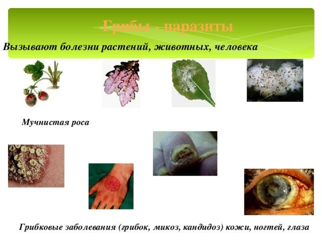 Грибы - паразиты Вызывают болезни растений, животных, человека Мучнистая роса Грибковые заболевания (грибок, микоз, кандидоз) кожи, ногтей, глаза