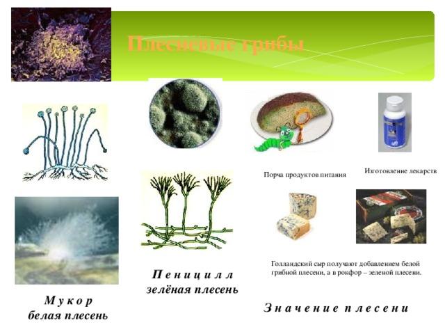 Плесневые грибы Изготовление лекарств  Порча продуктов питания Голландский сыр получают добавлением белой грибной плесени, а в рокфор – зеленой плесени. П е н и ц и л л зелёная плесень М у к о р белая плесень З н а ч е н и е п л е с е н и