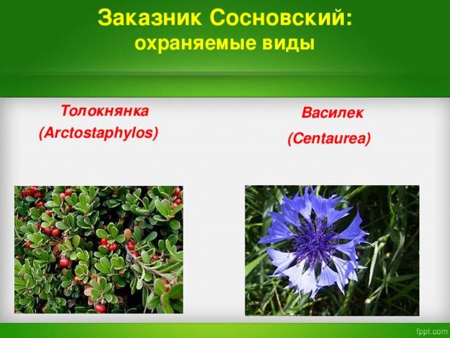 Заказник Сосновский:  охраняемые виды  Василек  ( Centaurea)   Толокнянка  ( Arctostaphylos)