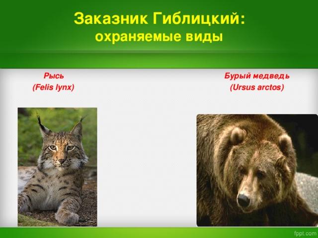 Заказник  Гиблицкий:  охраняемые виды   Рысь  Бурый медведь   (Felis lynx) ( Ursus arctos)