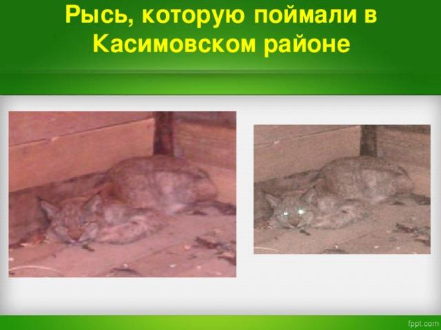 Рысь , которую поймали в Касимовском районе