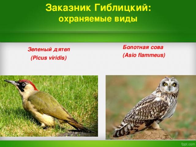 Заказник Гиблицкий:  охраняемые виды   Зеленый дятел    ( Picus viridis)    Болотная сова   ( Asio flammeus)