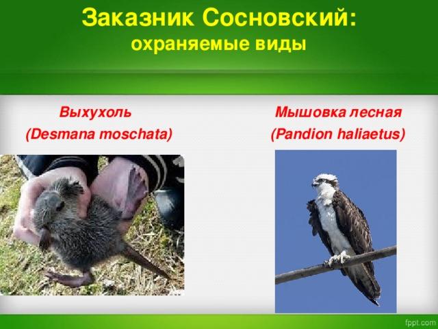 Заказник Сосновский:  охраняемые виды   Выхухоль  Мышовка лесная  ( Desmana moschata)   ( Pandion haliaetus)