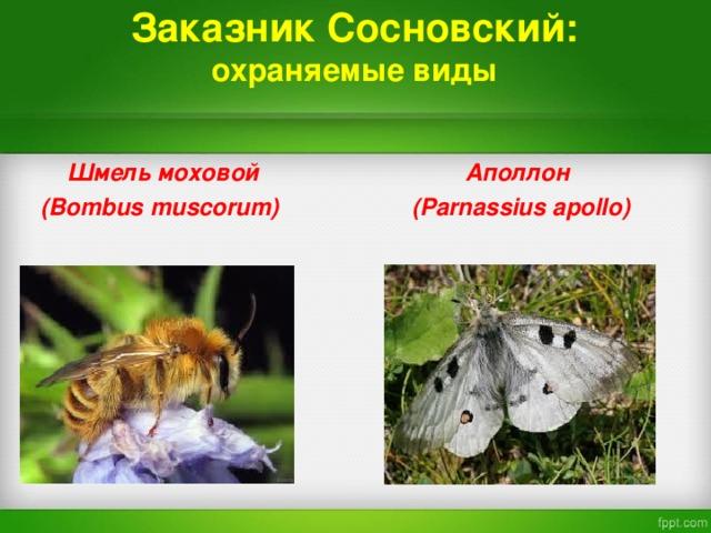 Заказник Сосновский:  охраняемые виды  Шмель моховой  Аполлон  ( Bombus muscorum)   ( Parnassius apollo)