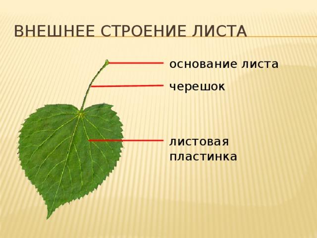 Внешнее строение листа основание листа черешок листовая пластинка Лист растения  Основная часть листа обычно плоская и расширенная. Ее называют листовой пластинкой.  От листовой пластинки у большинства листьев отходит черешок. Он гораздо уже листовой пластинки и похож на стебелек. Черешок может менять свое положение в пространстве, поворачивая при этом и листовую пластинку. Особенно хорошо это видно, когда листья колышутся даже при легком ветре. Именно благодаря черешку лист может поворачивать свою листовую пластинку к свету так, чтобы на нее попадало как можно больше солнечных лучей. Место прикрепления черешка к стеблю всегда немного расширено. Это основание листа. 14