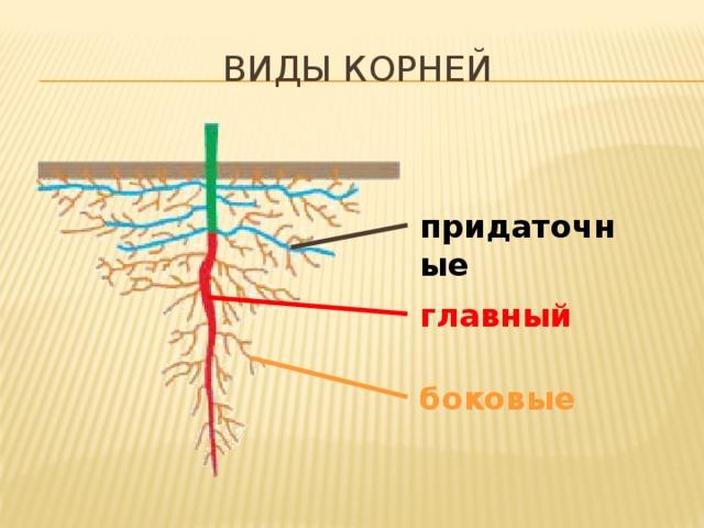 виды корней придаточные главный Все корни растения образуют его корневую систему. В корневых системах растений выделяют три типа корней:  главный – развивающийся из зародышевого корешка;  боковые – отходящие от главного корня;  придаточные – образующиеся на нижней части стебля. боковые 8
