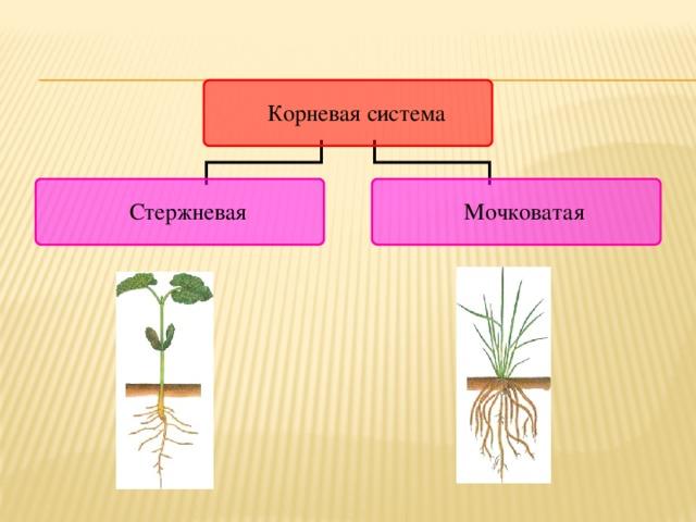 Корневые системы различных растений могут относиться к одному из двух типов.  Если у растения развивается хорошо различимый главный корень и от него отходят многочисленные боковые, то такую корневую систему называют стержневой.  В проростке однодольных растений зародышевый корешок перестает расти вскоре после своего появления из семени. При этом от основания стебля начинает развиваться множество придаточных корней. 9