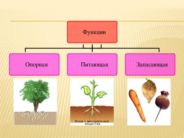 Опорная. Любое растение удерживается в почве благодаря хорошо разветвленным корням.  Питающая. С помощью корней растения получают воду и минеральные соли.  Запасающая. В корнях многих растений откладываются про запас питательные вещества.