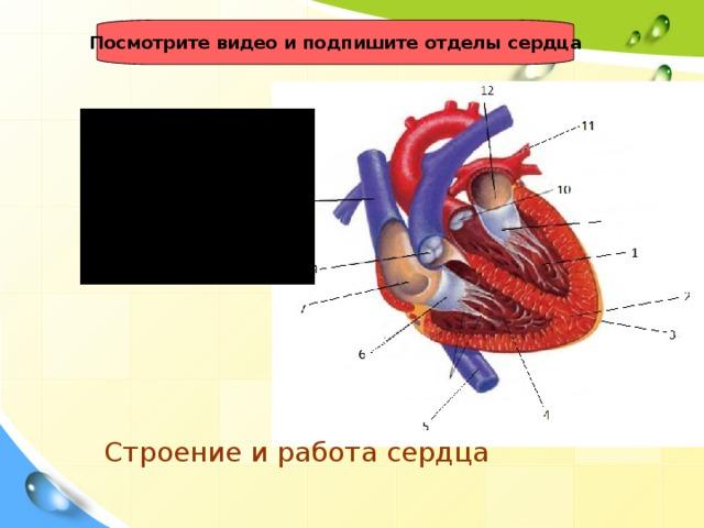 Посмотрите видео и подпишите отделы сердца Строение и работа сердца