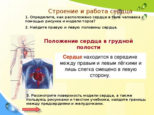 Строение и работа сердца 1. Определите, как расположено сердце в теле человека с помощью рисунка и модели торса? 2. Найдите правую и левую половины сердца. Положение сердца в грудной полости Сердце  находитсявсередине между правым и левым лёгкими и лишьслегка смещено в левую сторону .  3. Рассмотрите поверхность модели сердца, а также пользуясь рисунками и текстом учебника, найдите границы между предсердиями и желудочками.
