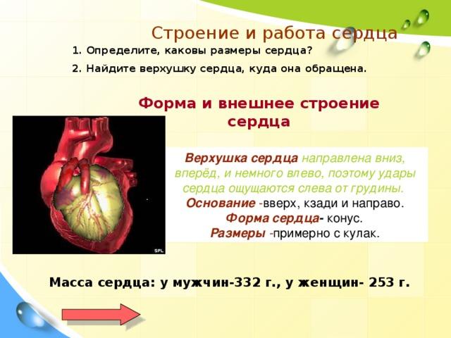 Строение и работа сердца 1. Определите, каковы размеры сердца? 2. Найдите верхушку сердца, куда она обращена. Форма и внешнее строение сердца Верхушка сердца направлена вниз, вперёд, и немного влево, поэтому удары сердца ощущаются слева от грудины.  Основание - вверх, кзади и направо. Форма сердца - конус. Размеры - примерно с кулак. Масса сердца: у мужчин-332 г., у женщин- 253 г.